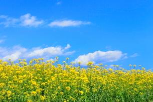 ナノハナ畑と青空に雲の写真素材 [FYI04083448]