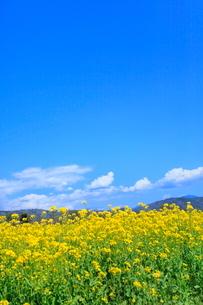 ナノハナ畑と青空に雲の写真素材 [FYI04083456]