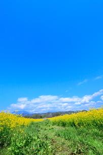 ナノハナ畑と青空に雲の写真素材 [FYI04083459]