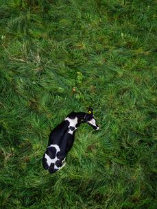 牛の空撮の写真素材 [FYI04083711]