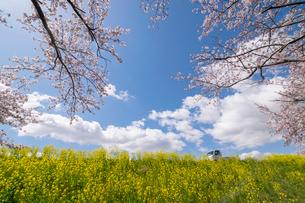 雲湧く晴天の桜咲く菜の花の土手に軽トラックの写真素材 [FYI04083815]