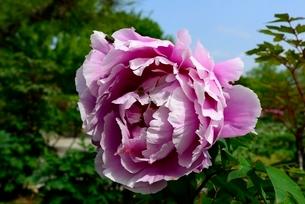 堺,新緑の大仙公園,ボタンの花の写真素材 [FYI04083908]
