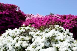 堺,浅香山公園つつじの花の写真素材 [FYI04083993]