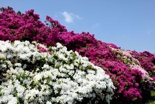 堺,浅香山公園つつじの花の写真素材 [FYI04083994]