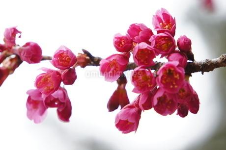寒緋桜の写真素材 [FYI04084145]