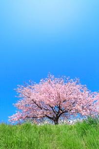 サクラと青空の写真素材 [FYI04084391]