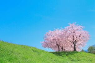 サクラ並木と青空の写真素材 [FYI04084413]