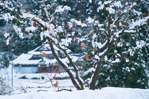 柿の木と雪の写真素材 [FYI04084439]