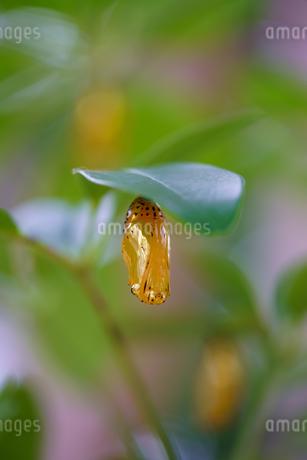 オオゴマダラのサナギの写真素材 [FYI04084487]