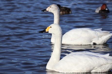 白鳥の写真素材 [FYI04084625]