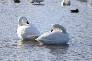 2羽の白鳥の写真素材 [FYI04084626]