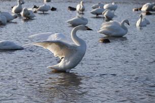 羽ばたく白鳥の写真素材 [FYI04084627]