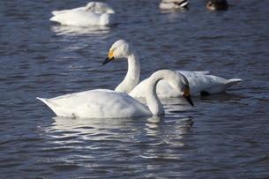 2羽の白鳥の写真素材 [FYI04084628]