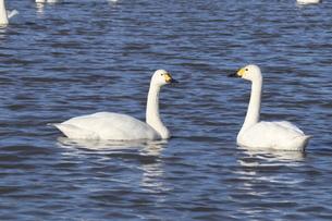 2羽の白鳥の写真素材 [FYI04084629]