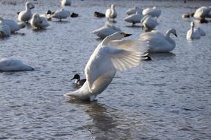 白鳥の写真素材 [FYI04084630]