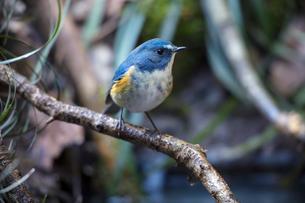 木の枝にとまるルリビタキのオスの成鳥の写真素材 [FYI04084652]