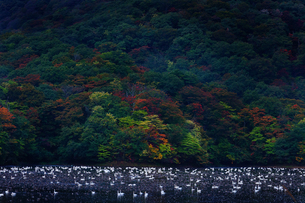大山のコハクチョウの写真素材 [FYI04084737]