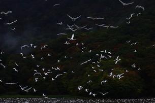 大山のコハクチョウの写真素材 [FYI04084743]