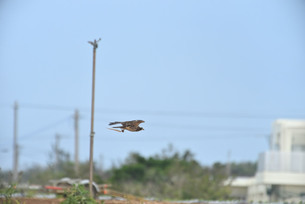 野鳥/鷹の写真素材 [FYI04084764]