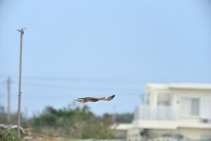 野鳥/鷹の写真素材 [FYI04084766]