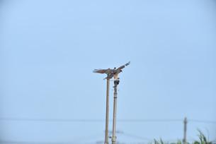 野鳥/鷹の写真素材 [FYI04084776]