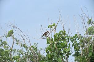 野鳥/鷹の写真素材 [FYI04084780]