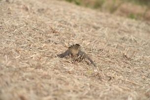 野鳥/鷹の写真素材 [FYI04084784]