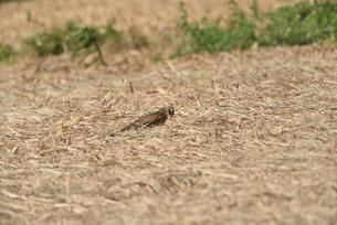 野鳥/鷹の写真素材 [FYI04084799]