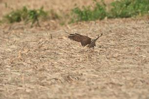 野鳥/鷹の写真素材 [FYI04084801]