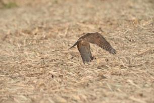 野鳥/鷹の写真素材 [FYI04084803]