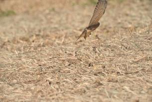 野鳥/鷹の写真素材 [FYI04084806]
