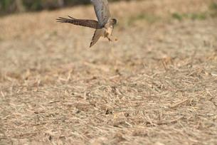 野鳥/鷹の写真素材 [FYI04084808]