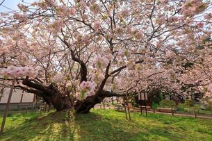 5月 松前城の血脈(けちみゃく)桜-北海道の春-の写真素材 [FYI04084853]