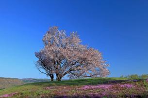 5月 津別の双子の桜-北海道の春-の写真素材 [FYI04084867]