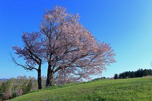 5月 津別の双子の桜-北海道の春-の写真素材 [FYI04084874]