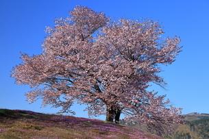 5月 津別の双子の桜-北海道の春-の写真素材 [FYI04084875]