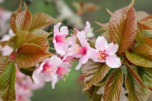 5月 野付(のつけ)小学校の千島桜のクローズアップの写真素材 [FYI04084897]