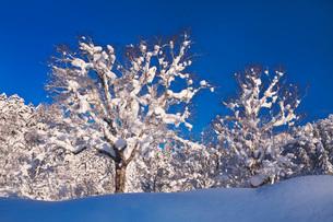 木の着雪と樹氷の写真素材 [FYI04085193]