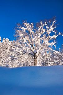 木の着雪と樹氷の写真素材 [FYI04085194]