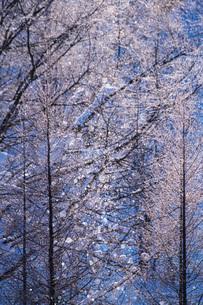 サンピラーと樹氷の写真素材 [FYI04085244]