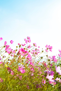コスモスの花の写真素材 [FYI04085341]