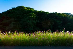 コスモスの花の写真素材 [FYI04085349]