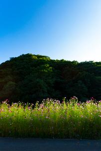 コスモスの花の写真素材 [FYI04085353]