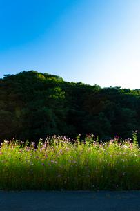 コスモスの花の写真素材 [FYI04085355]