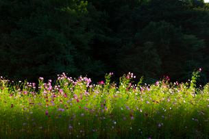コスモスの花の写真素材 [FYI04085358]