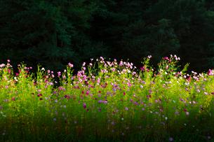 コスモスの花の写真素材 [FYI04085360]