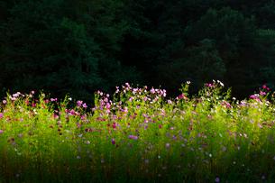 コスモスの花の写真素材 [FYI04085362]
