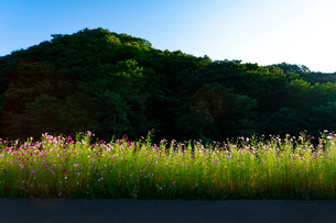 コスモスの花の写真素材 [FYI04085365]