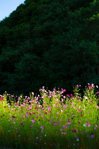 コスモスの花の写真素材 [FYI04085367]