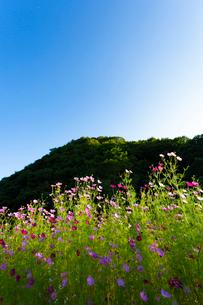 コスモスの花の写真素材 [FYI04085370]